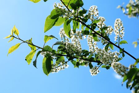 Nice white bird cherry flowers blossom in springtime Фото со стока