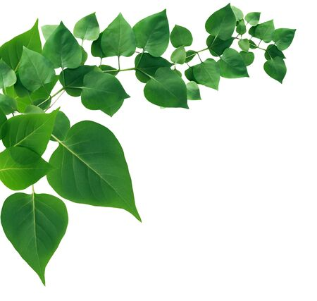 Nice green leaves composition as border on white background