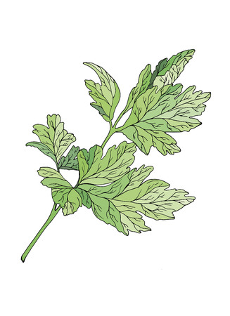 Parsley branch on a white background with a black contour Иллюстрация