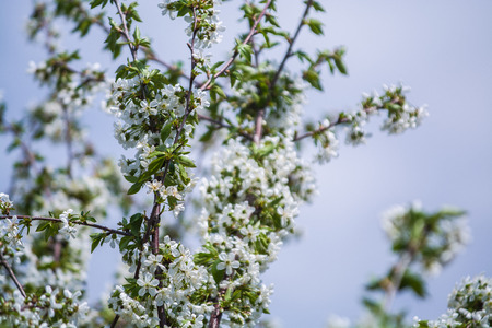 White blossomings on apple-tree branches in sunny and spring day in a garden. Fruit-tree. Small flowers. Background Standard-Bild