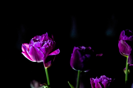 Bright and unusual tulips on a monophonic black background. Night photographing in a garden with flowers Standard-Bild