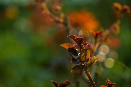 In the sunset sun in a garden rose bushes with leaves and thorns with small branches without blossoming. Spring plants. Nature. Background. Reklamní fotografie