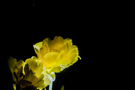The yellow tulip with a big bud blossoms on a black monophonic background. Night shooting in a garden.