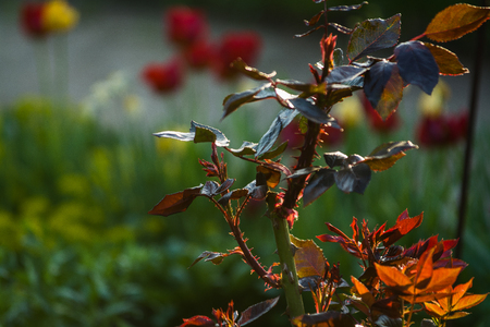 In the sunset sun in a garden rose bushes with leaves and thorns with small branches without blossoming. Spring plants. Background.