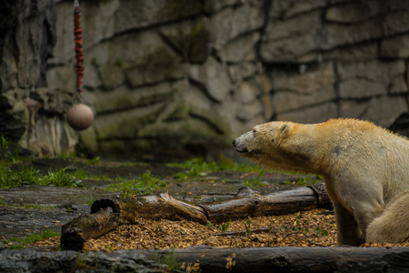 Big polar bear during a rain with the small child. Playful and curious mood at wild animals. Nature