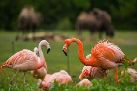 Pack of bright birds in a green meadow near the lake. Exotic flamingos saturated pink and orange colors with fluffy feathers. Wild nature.