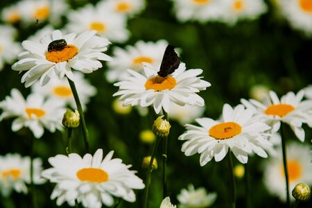 Background with big white daisies and green and nacreous bugs. Insects and flowers