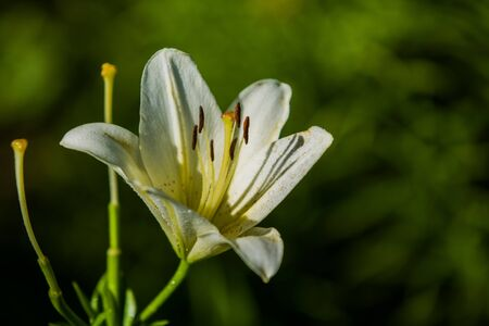 The big lily, white with yellow color, blossoms in a summer garden. Beautiful flowers. Monophonic background 版權商用圖片