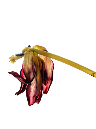 Wilted Tulip closeup isolated on white background. Photo of the dead flower.
