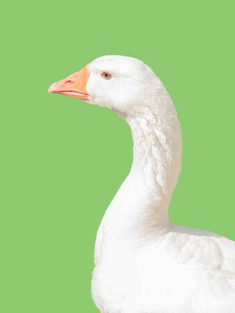 Large white goose isolated on light green background. Poultry.