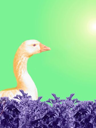 White goose with orange beak isolated on light green background. Poultry.
