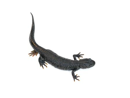 Black Triton lizard with tucked leg isolated on white background. The view from the top. Photo of a reptile.