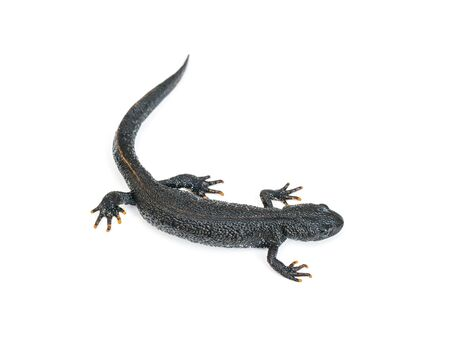 Elegant black lizard Triton isolated on white background. Photo of a reptile. Archivio Fotografico