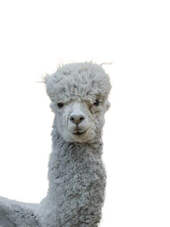 The body of a beautiful grey Alpaca isolated on a white background. Portrait of a tamed pet with beautiful hair.