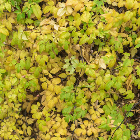 Background of a large number of autumn yellow-green leaves. Wall of plants.