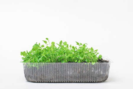 A large number of young plants in a plastic container on a white background. Growing plants at home.