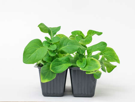 Flower seedlings in a plastic container on a white background. Growing plants at home.