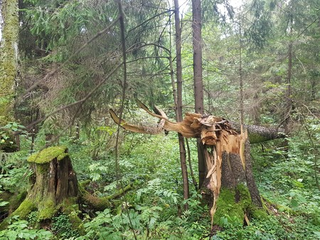 Thicket of the forest, broken trees and a stump in a green moss
