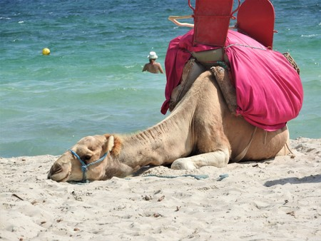 Camel on the beach in Tunisia, Africa on a clear day against the blue sea. 免版税图像