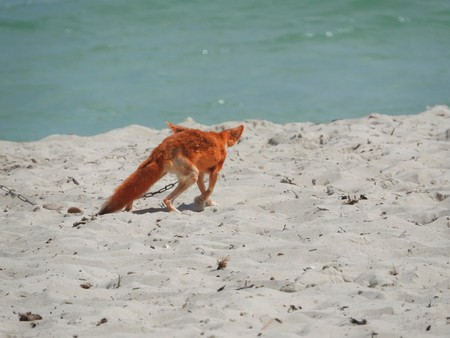 Wild Fox on the sand in Tunisia on a hot clear day