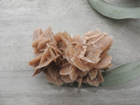 Desert Rose on a gray background and the green leaves 免版税图像