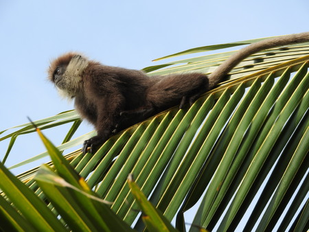 Purple-faced langurs, moter and baby, sitting on a coconut palm tree in natural habitat in Sri Lanka