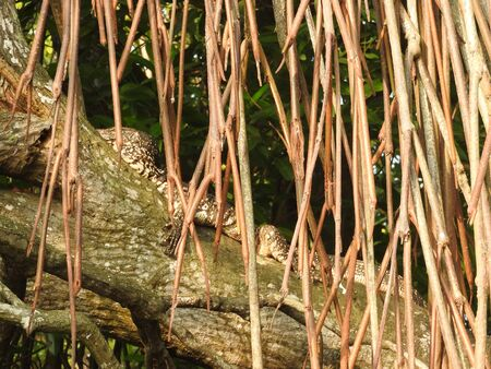 A monitor lizard having a rest on a tree at Bentota river jungle in Sri Lanka