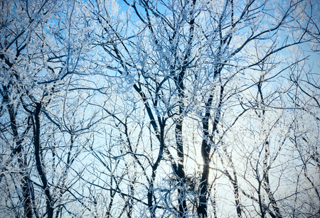 rigor: Winter forest