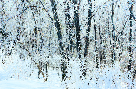 rigor: Winter forest