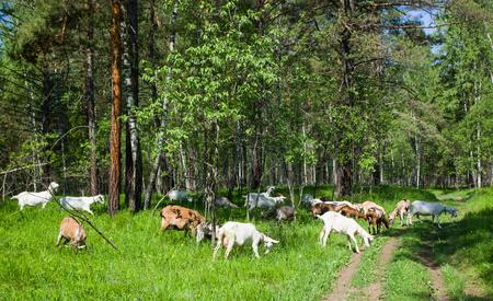grazing: Grazing goats. Stock Photo