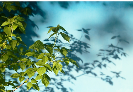 coolness: Green foliage on a background of blue wall. Stock Photo