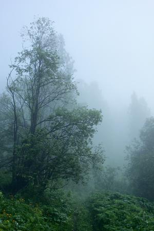deceptive: Forest.Morning fog.