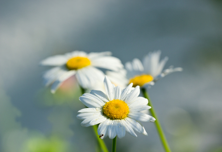 abloom: Flowers.Daisies.Shallow depth of field. Stock Photo