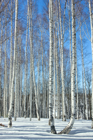 the grove: Winter.Birch Grove.