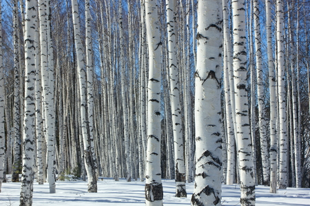 arboleda: Winter.Birch Grove.
