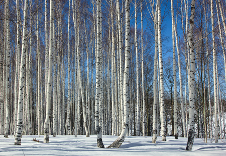 winter forest: Winter.Birch Grove.