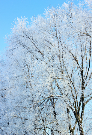 hoarfrost: Trees covered with hoarfrost.
