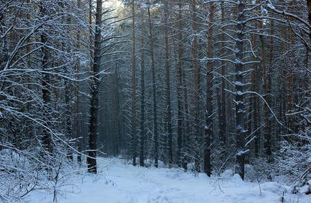 icily: Winter. Early morning in a pine forest.
