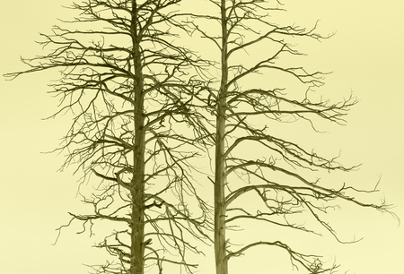 swelter: Dried trees.Drought.Monochrome toned image.