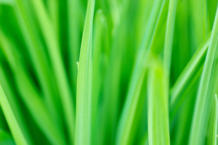 sumptuous: Green grass.Background.Diffuse image. Stock Photo