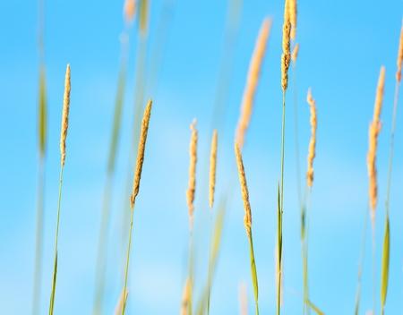 aureate: Yellow autumn grass on a background of blue sky.