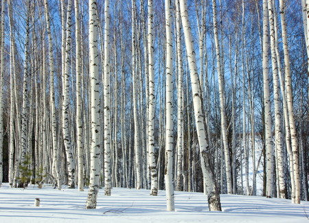 svelte: Birchwood in the winter.