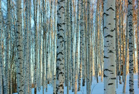 svelte: A birch grove in winter day.