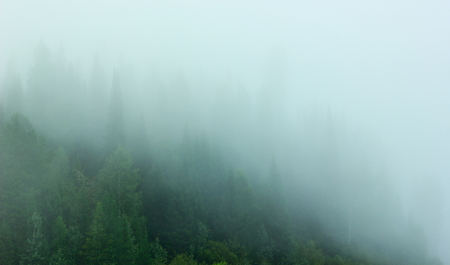 fog forest: Forest in the fog on a mountainside.