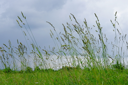 swaying: Green meadow grass on a rainy day.
