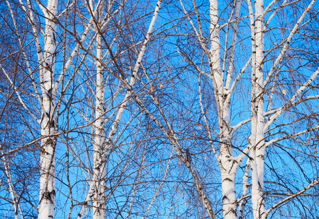 Birches against the blue sky.
