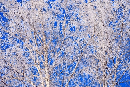 Branches of birches covered with hoarfrost. Stock Photo