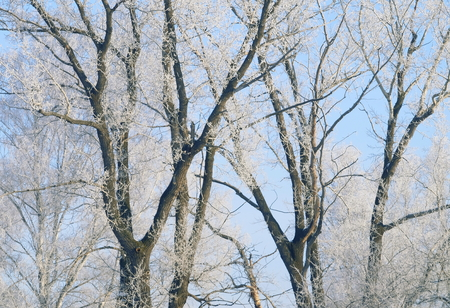 Trees covered with hoarfrost.Winter background.
