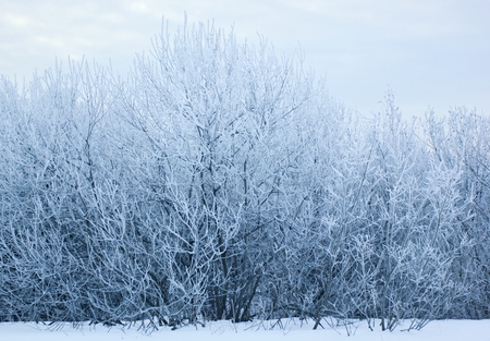 Trees covered with hoarfrost.