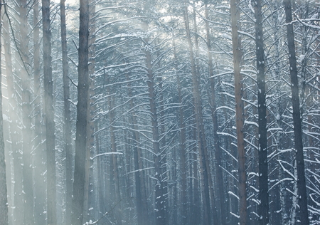 Winter morning in a pine forest.Tinted image. Standard-Bild